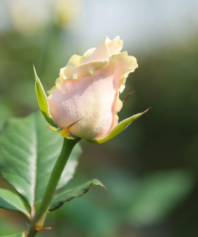 Однобутонні троянди