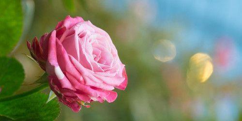 Зірки українського шоу-бізнесу та телебачення підтримали акцію Троянди для мами