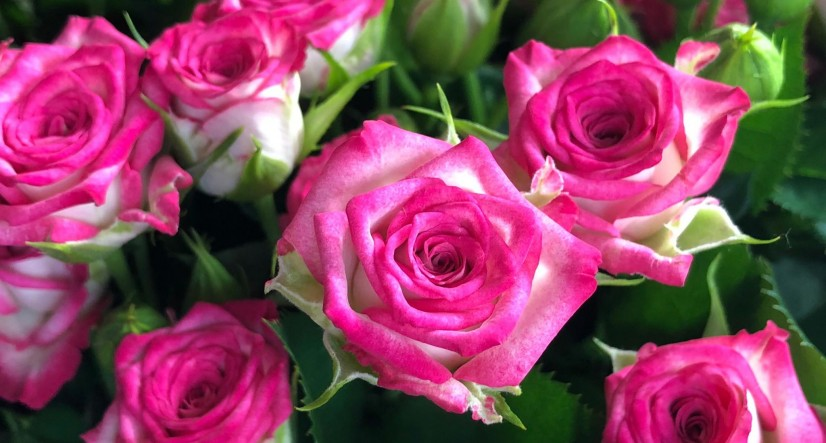 ASCANIA-FLORA COMPANY PRESENTED NEW TYPES OF ROSES