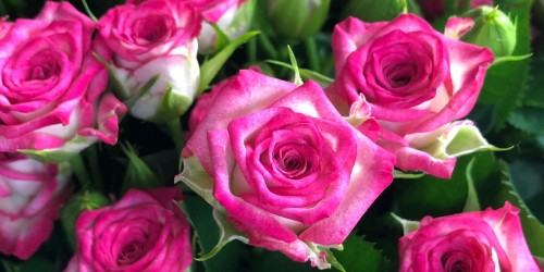 Компанія Асканія-Флора представила нові сорти троянд